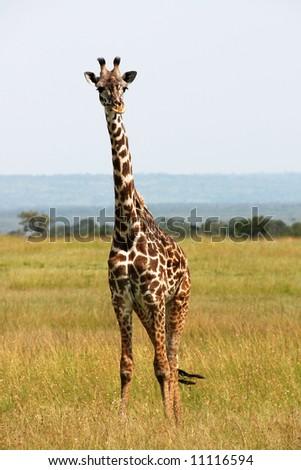 Single giraffe looking around in the savannah - stock photo