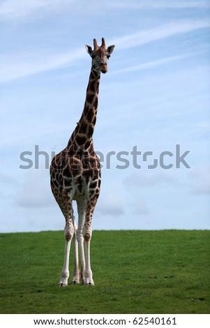 Single giraffe posing - stock photo