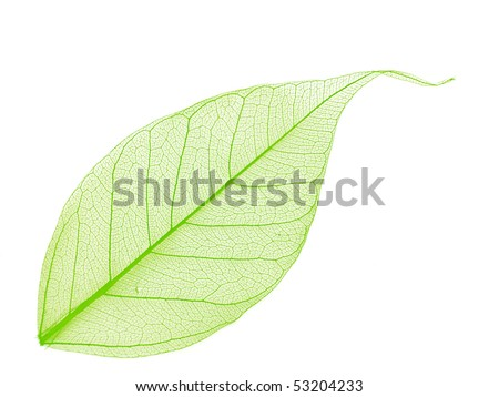 Single green decorative skeleton leaf, element for your design - stock photo