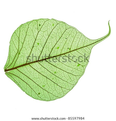 Single green leaf , close up macro, isolated on white background  - stock photo