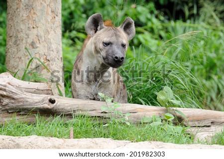 Single hyena looking to something. - stock photo