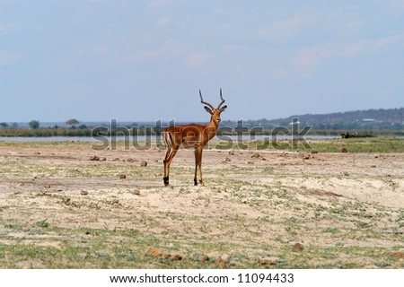 Single Impala at Chobe Riverfront, Botswana - stock photo