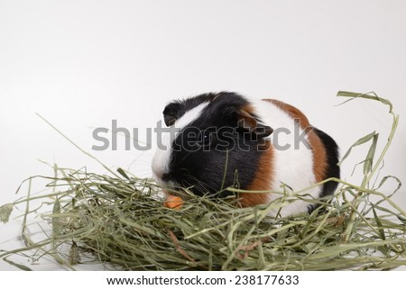 Single individual multi-colored tricolor guinea pig munching on timothy hay on white background - stock photo