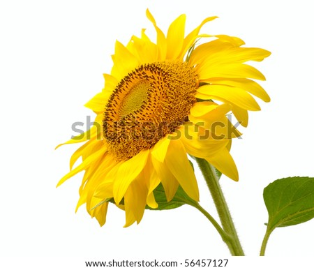 single isolated yellow sunflower. close-up - stock photo
