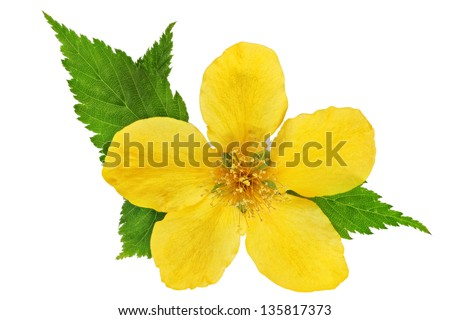 Single Kerria  Japonica Yellow wildflowers isolated - stock photo
