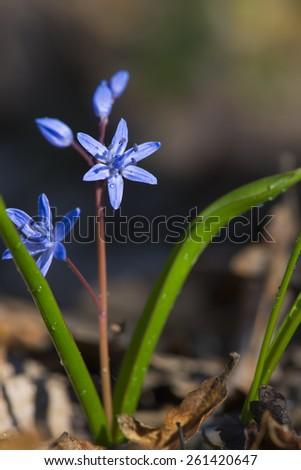 Single Ladybug on violet bellflowers in spring - stock photo