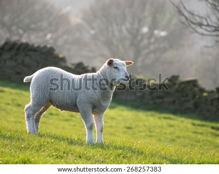 Single lamb in field on hillside, backlit by setting sun behind - stock photo