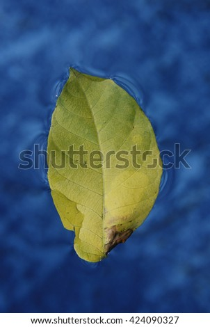 Single leaf on water close up. Leaf floating on the calm waters - stock photo