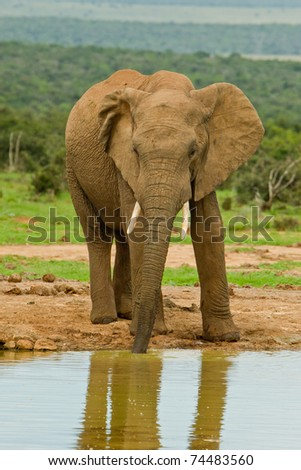 single male elephant having a lonely drink at a water hole - stock photo