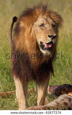 Single male lion (panthera leo) standing over a giraffe carcass in savannah in South Africa - stock photo