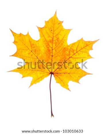 single maple leaf isolated on white - stock photo