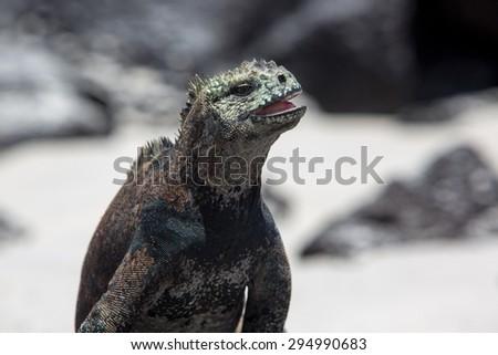Single marine iguana standing on white beach of Playa de los Alemanes near Puerto Ayora Galapagos islands 2015. - stock photo