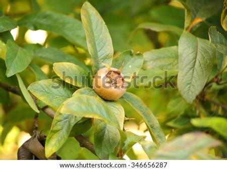 Single medlar pome, mespilus fruit on a shrub. - stock photo