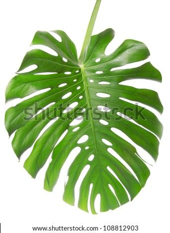 Single Monstera leaf isolated on white - stock photo