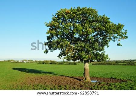 Single Oak Tree in a Green Field - stock photo