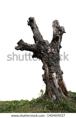 Single old and dead tree and young shoot from one root isolated on white background.Concept death and life  - stock photo
