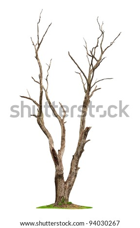 Single old and dead tree isolated on white background - stock photo