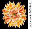 Single Orange and White Chrysanthemum Flower Isolated on Black Background. Beautiful Dahlia Flowerhead Macro - stock photo