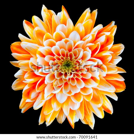 Single Orange and White Chrysanthemum Flower Isolated on Black Background. Beautiful Dahlia Flowerhead Macro - stock photo