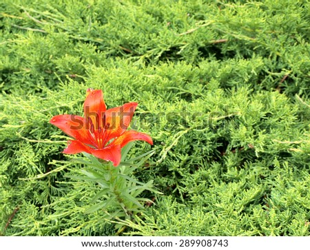 Single orange color lily flower grows in the cypress bush close up.     - stock photo