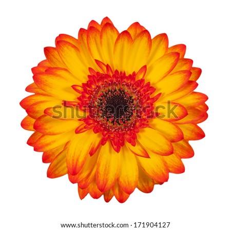 Single orange gerbera flower isolated on white background - stock photo