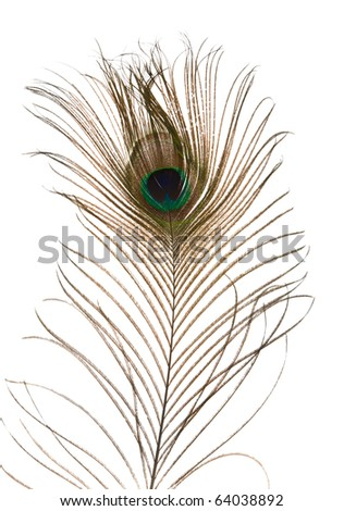 single peacock feather isolated on white background; - stock photo