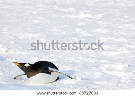 single penguin lays on ground - stock photo