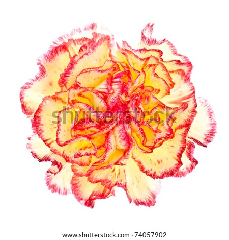 single pink and yellow carnation isolated on white - stock photo