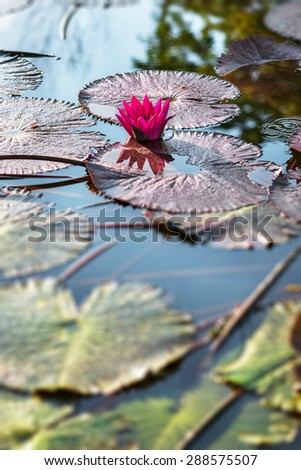 Single pink exotic water lily in tropical pond Tobago  - stock photo