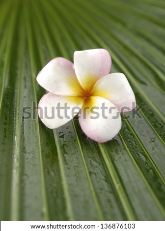 Single pink frangipani on green plant. Plumeria flower. and palm leaf texture - stock photo