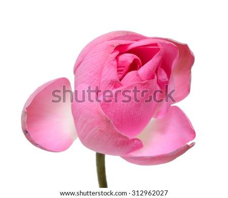 single pink lotus flower isolated on white background - stock photo