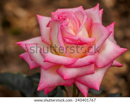 Single pink rose in the garden, the background is natural. - stock photo