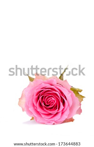 single pink rose isolated for withe background - stock photo