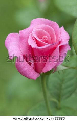 Single pink rose on blur background - stock photo