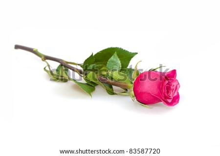 Single Pink Rose on White, Studio - stock photo
