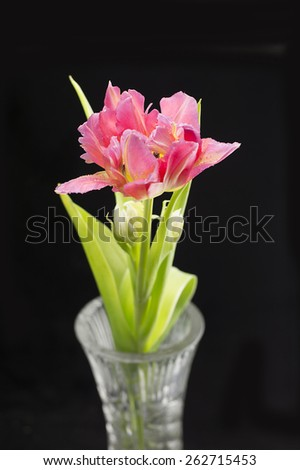Single pink tulip stem with green leaves against black background - stock photo