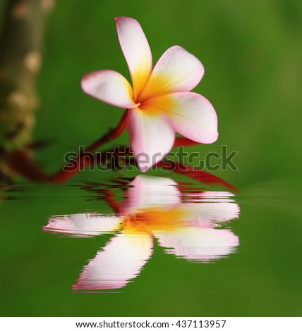 Single Plumeria Flower on Stones at Edge of Pool in Tranquil Spa Setting reflection in water. - stock photo