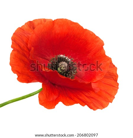 Single poppy flower isolated over white background. - stock photo