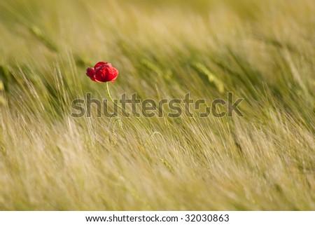 Single poppy in the field - stock photo