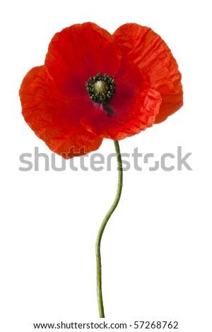 Single poppy isolated on white - stock photo
