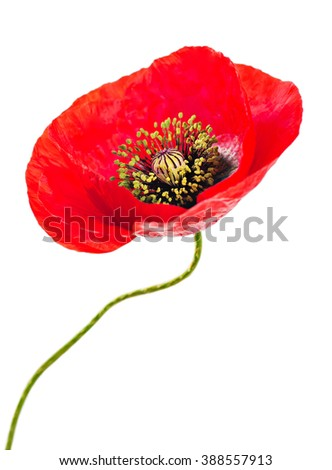Single red poppy flower with stalk isolated on white background. In case we forget, november 11, Remembrance Day symbol - stock photo