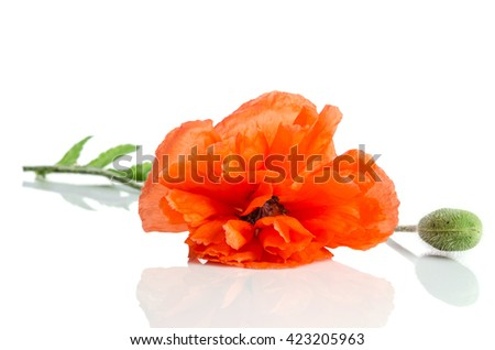 single red poppy lying on white background - stock photo