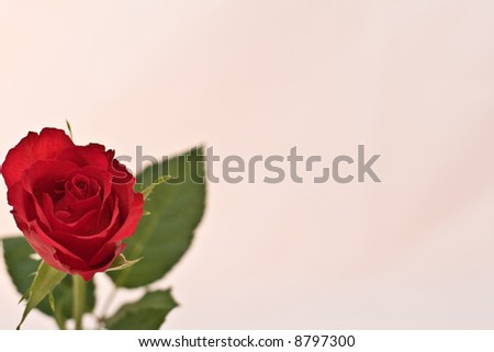 Single Red Rose isolated on bright background with copy-space - stock photo