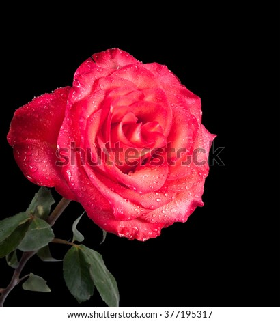 Single red rose isolated on the black background - stock photo