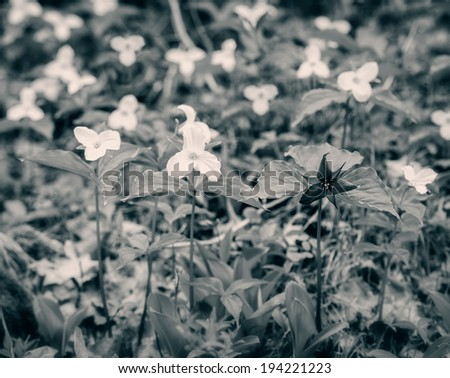 Single Red Trillium erectum growing  amongst White Trilliums.  Toned Black and White Image. Trillium grandiflorum is the official emblem of the Province of Ontario and the State Wildflower of Ohio.  - stock photo