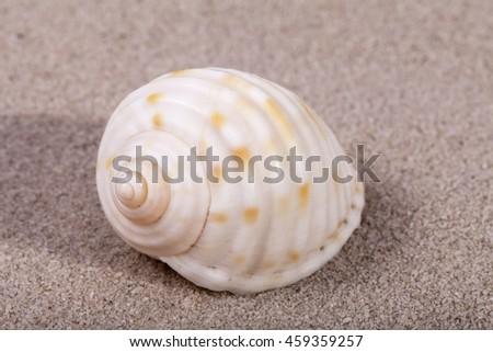 Single sea shell of marine snail lying on the sand, close up - stock photo