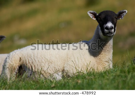 Single sheep laying in green field - stock photo