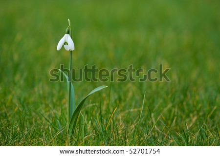 Single snowdrop (galanthus) on lawn of grass - stock photo
