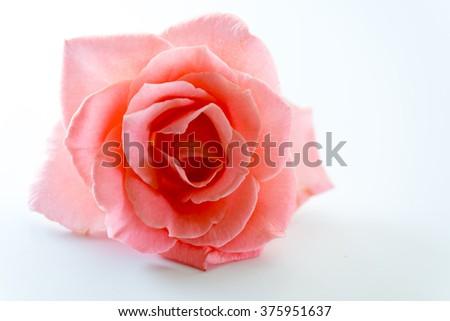 single soft pink rose flower - stock photo