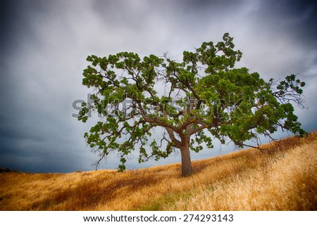 Single southern California oak tree grows on hillside above a grassy meadow. - stock photo